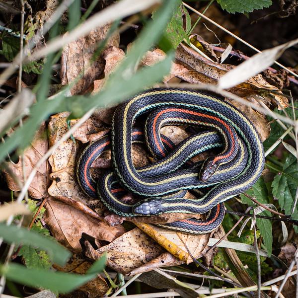 Pacific Garter Snake