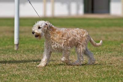 .Other Soft Coated Wheaten Terriers