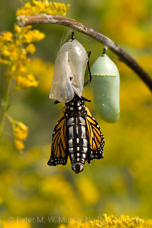 Butterflies, Moths and bugs of Paradise Valley, MT