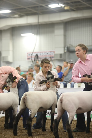 Commercial Junior Division 2 and Champion Junior Ewe