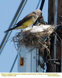 WesternKingbirdsA&N1550.jpg