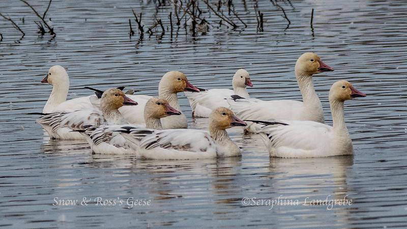 _DSC8752Snow & Ross's Geese.jpg