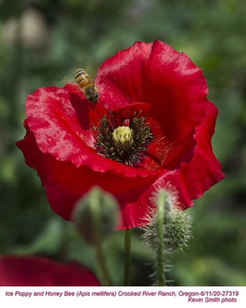 Icelandic Poppy w Bees 27319.jpg