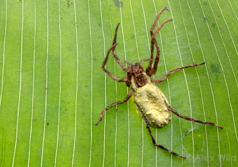 Wandering spider killed by fungus