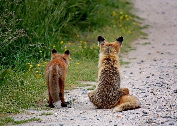 Delmarva Foxes