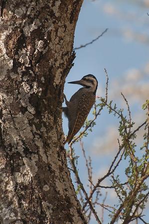 Woodpecker, Bearded