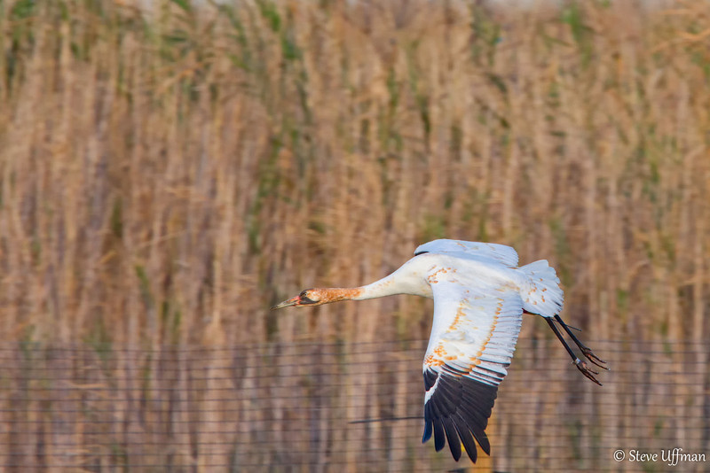 20120207-_MG_2630Whooping_Cranes_White_Lake-Edit.jpg