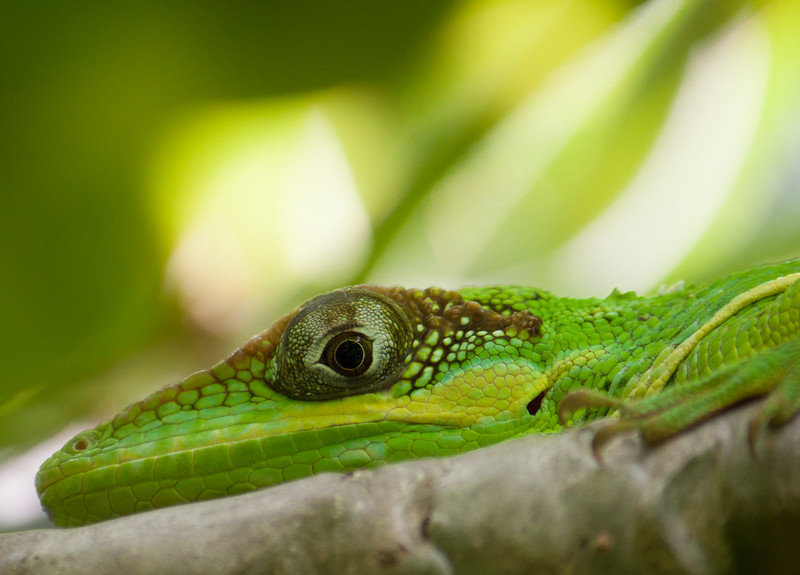cuban knight anole.jpg