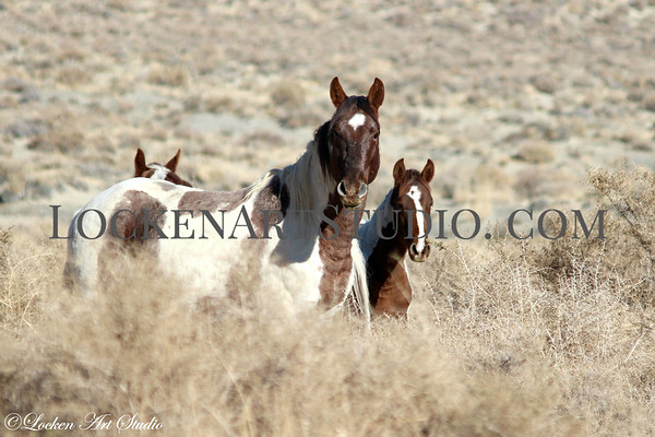 Black Rock Desert Mustangs