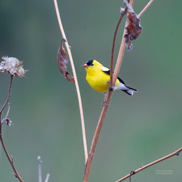 American Goldfinch, Standing Bear Lake, NE, USA, May 2018-5.jpg