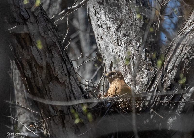 Red Shouldered Hawk - female
