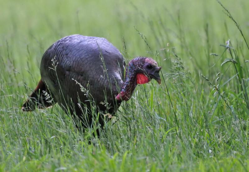 Nature Wild Turkey Coming Through.jpg