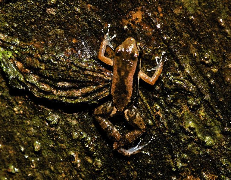 Ucayali Rocket Frog (Colostethus marchesianus)
