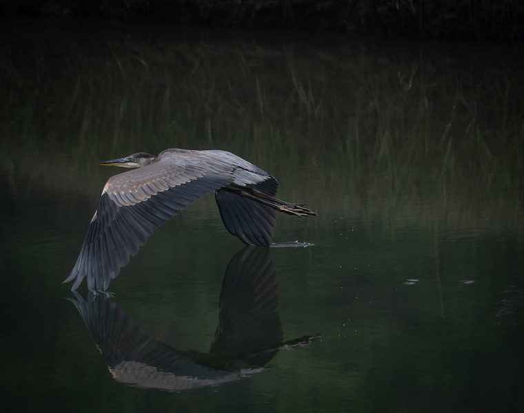 Great Blue Heron reflection wing tips