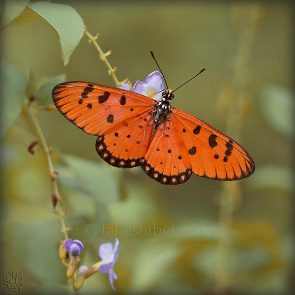 Tawny Coster - Acraea terpsicore .jpg