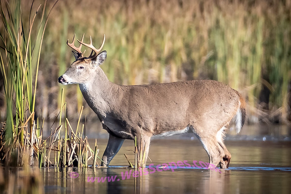 Does and Bucks