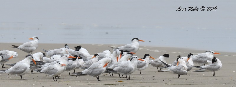 Elegant and Royal Terns  - 6/24/2019 - Imperial Beach, Seacoast to river mouth