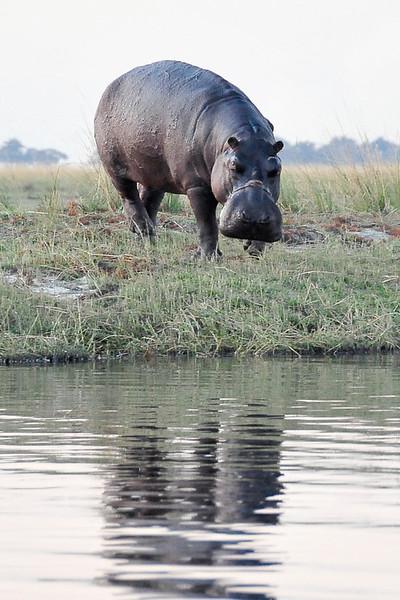 EPV0691 Hippo in Chobe River.jpg