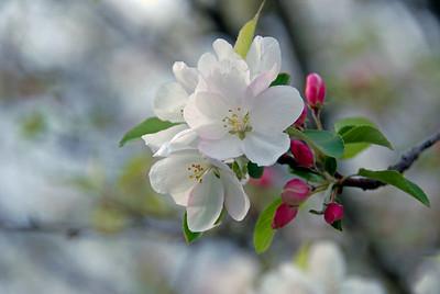 Blossoms 2006