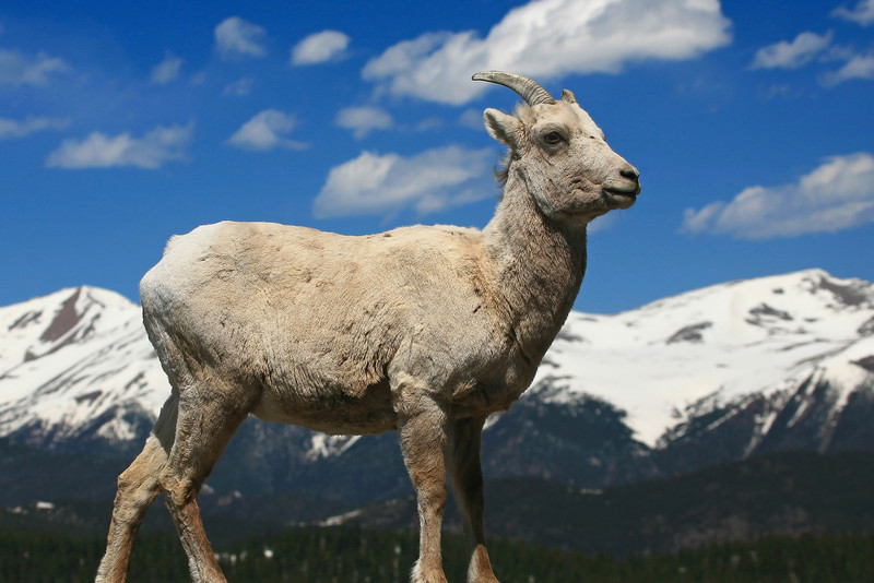 Mountain Goat - Colorado