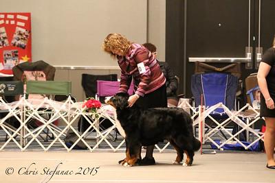15-18 mos Puppy Bitch 2015 BMDCA Natl. Specialty