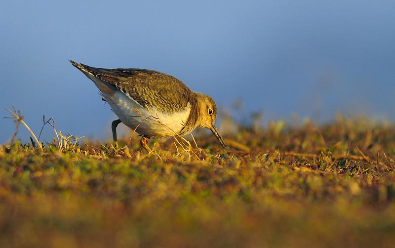 Common Sandpiper....
