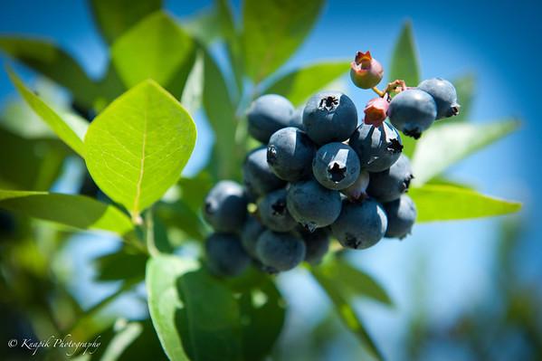 Bluebery Picking