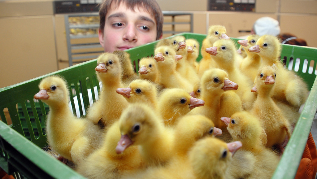 . Trainee Dominique holds a box with goslings at the Eskilden GmbH poultry farm in Wermsdorf, eastern Germany, on March 3, 2013. The company plans to breed 200,000 goslings during the year 2013. Dirk Hunger/AFP/Getty Images