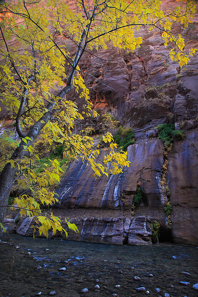 Cottonwood displaying it's autumn shades in the Virgin River Narrows of Zion National Park