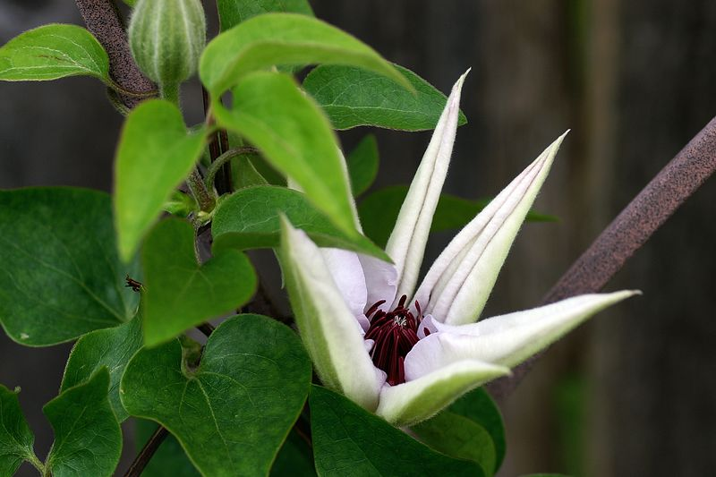 2005 Blooming clematis