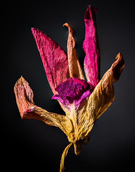 2018-Week 16 - Dried Hibiscus Flower.jpg