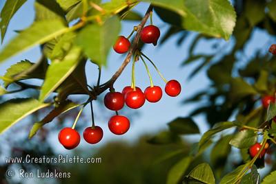 Montmorency Cherry - Prunus cerasus sp.