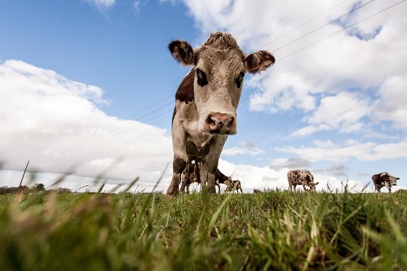 vache (6 sur 21).jpg
