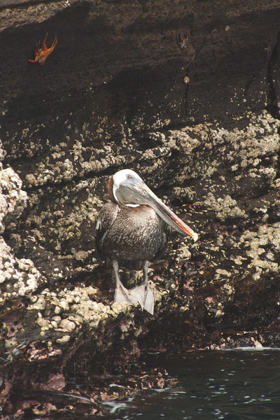 Pelican at the Rocks : Journey into Genovesa Island in the Galapagos Archipelago