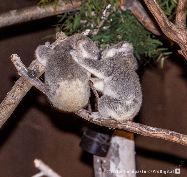 Koalafornia-38.jpg