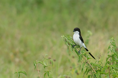 Fiscal, Long-tailed