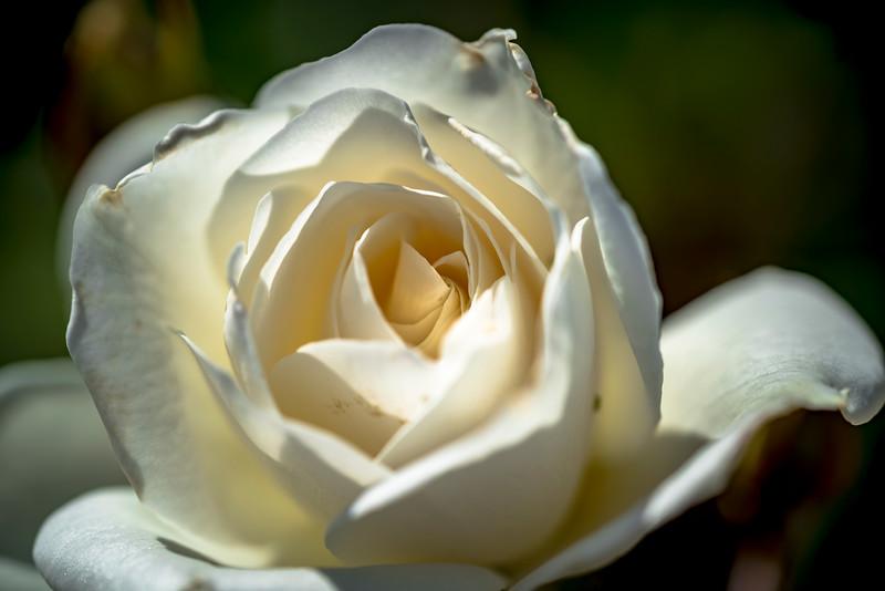 White Rose 3-1.jpg