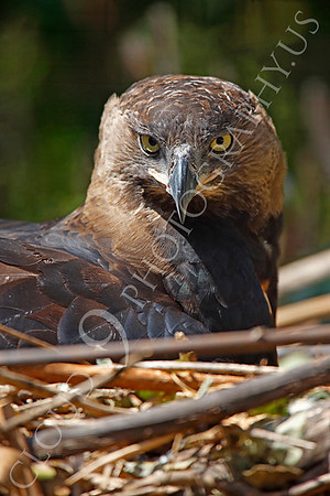 Crowned Eagle Wildlife Photography