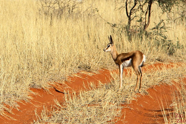 Antelope in the Kalahari desert, Namibia