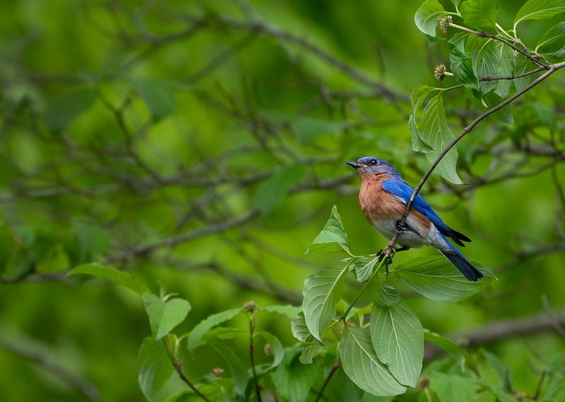 bluebird_DSC6878.jpg