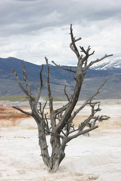 petrified tree at Mammoth Hot Spring Terraces