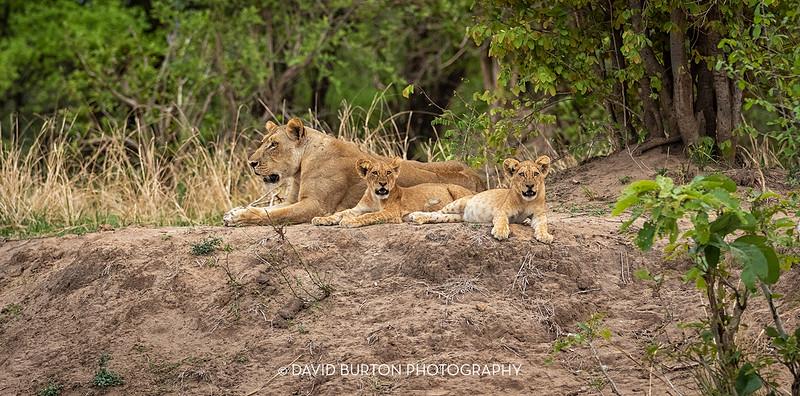 Bili_Lion-n-cubs_1256cc2fx-web.jpg