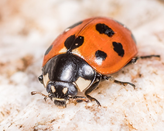 Coccinella undecimpunctata - Elevenspotted ladybird