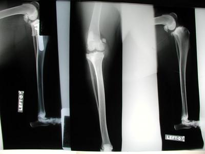 Maddie's TPLO X-Rays