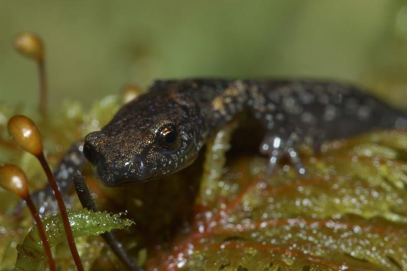 Wandering Salamander.