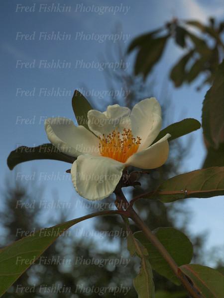 sayen magnolia.jpg