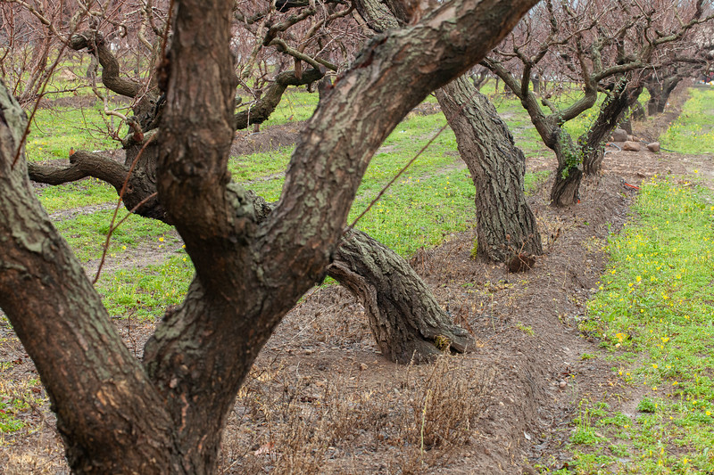 Orchard, Saratoga, California, 2010