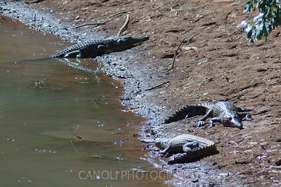 Fresh water Crocodile. Smaller and not usually dangerous to humans.