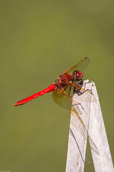 Cardinal Meadowhawk.jpg