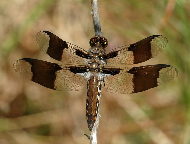 Plathemis lydia (Common Whitetail)